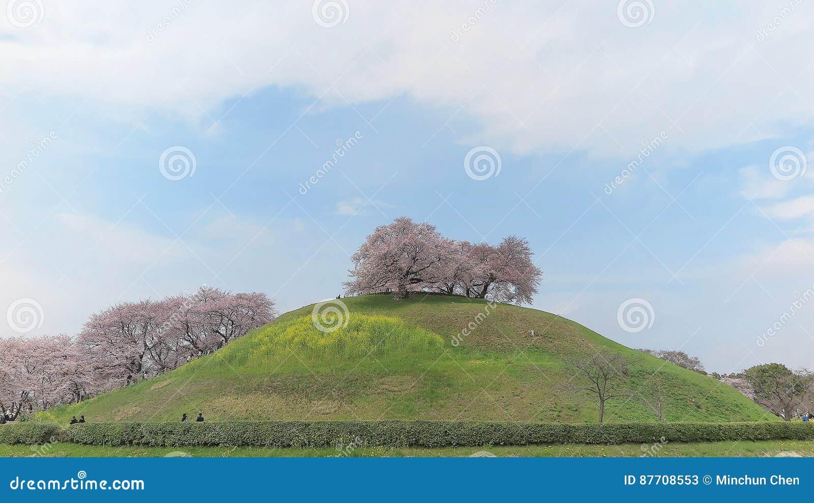 Vue scénique de beaux arbres de fleurs de cerisier sur un sommet des prés herbeux verts sous le ciel ensoleillé bleu