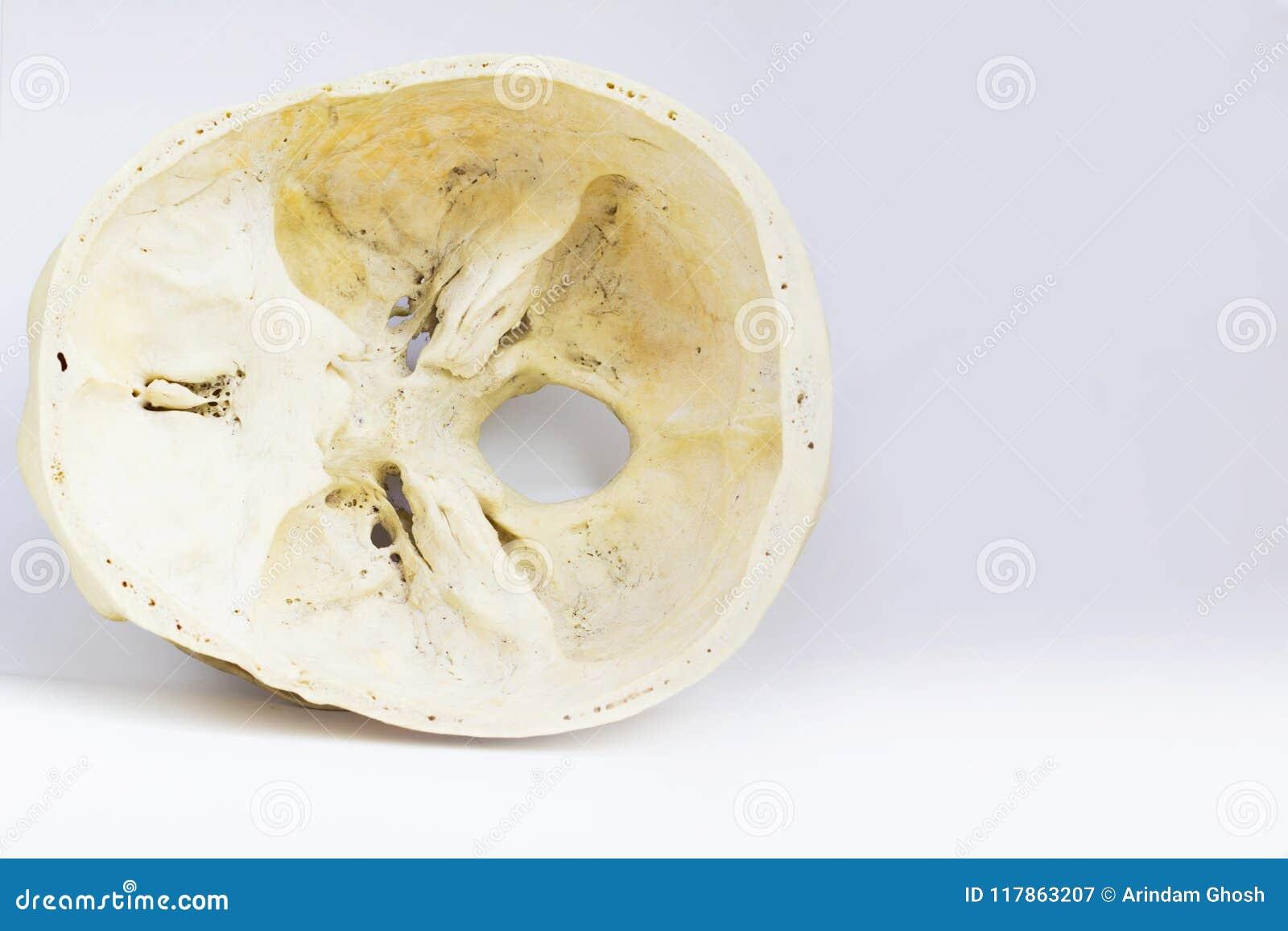 Vue supérieure de la base du crâne humain montrant l os de sphenoid et le magnum de foramen pour l anatomie à l arrière-plan blan