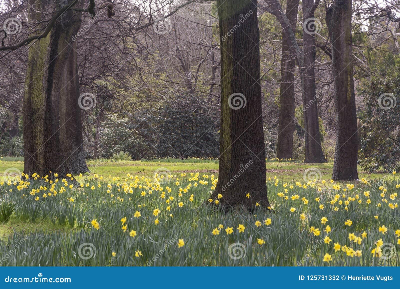 Vue sur un champ de belles jonquilles fleurissant en premier ressort entre les arbres avec les branches nues Signe de la nouvelle