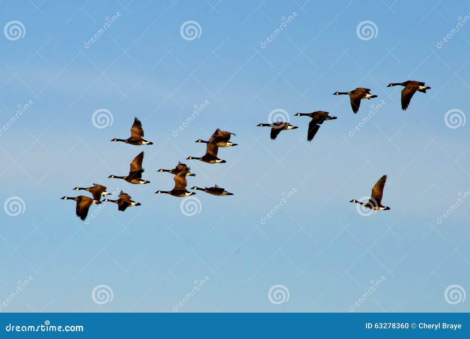 Vuelo canadiense de la multitud de los gansos