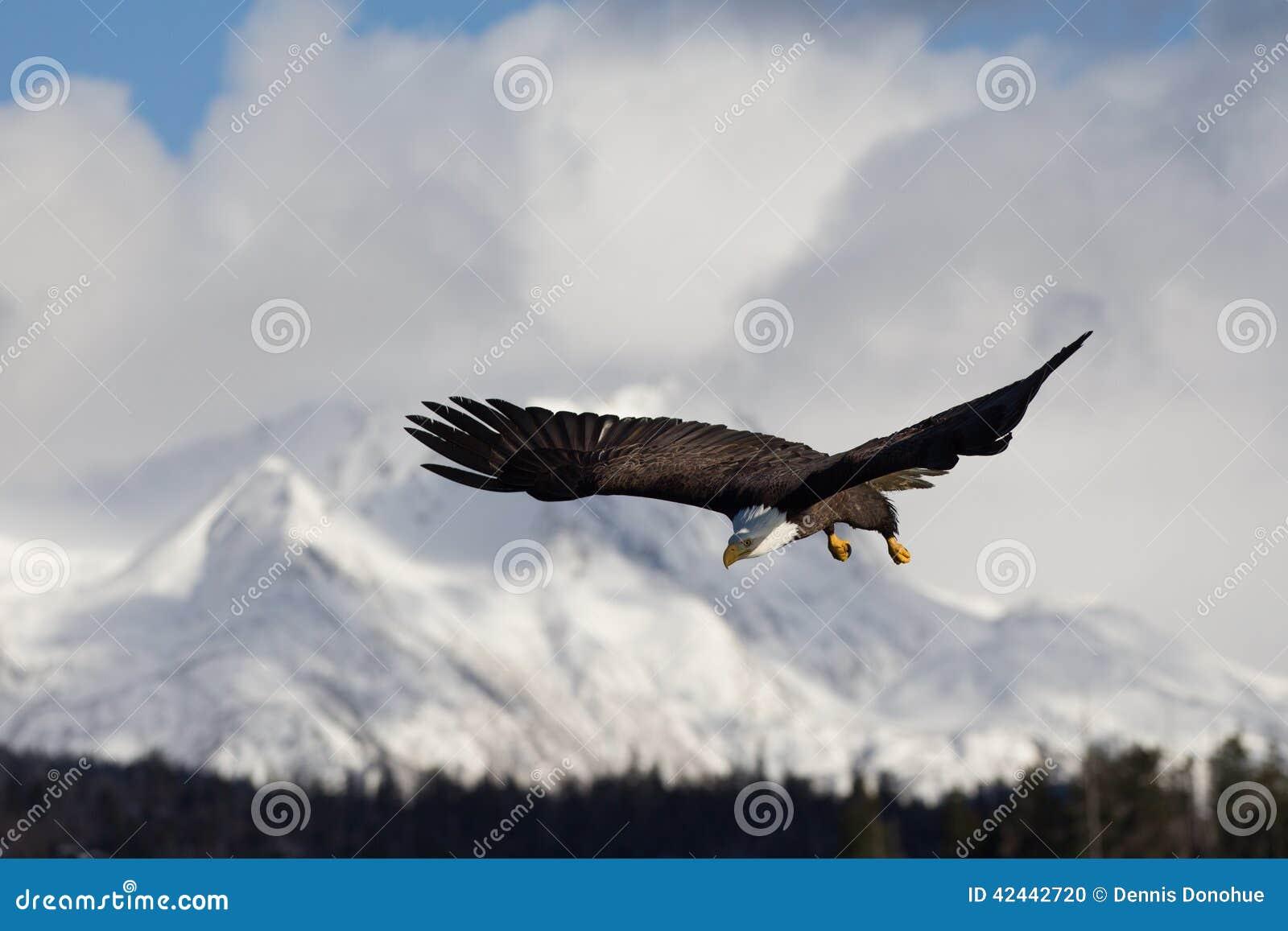 Vuelo de Eagle calvo, Homer Alaska
