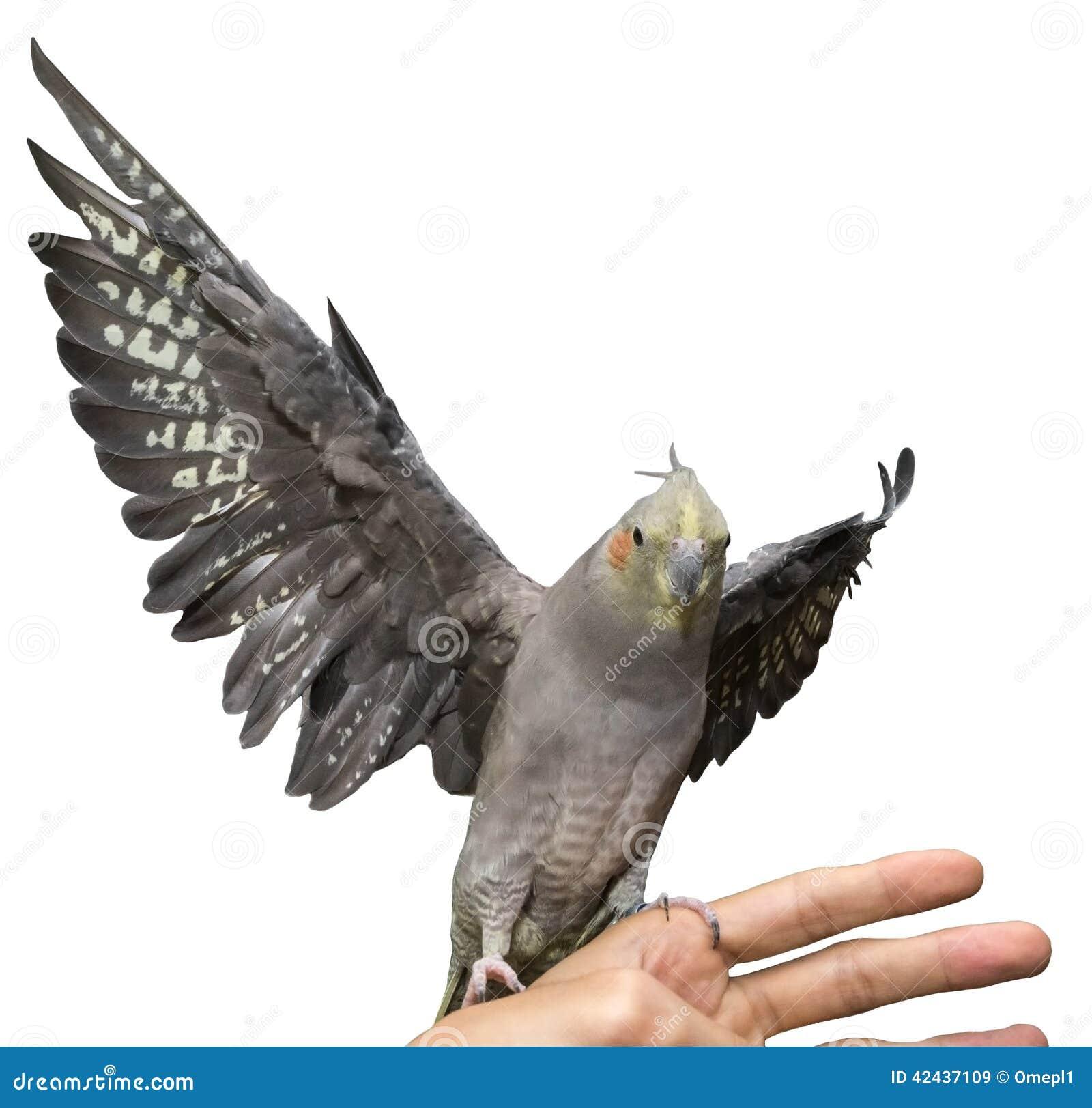 Vuelo del Cockatiel