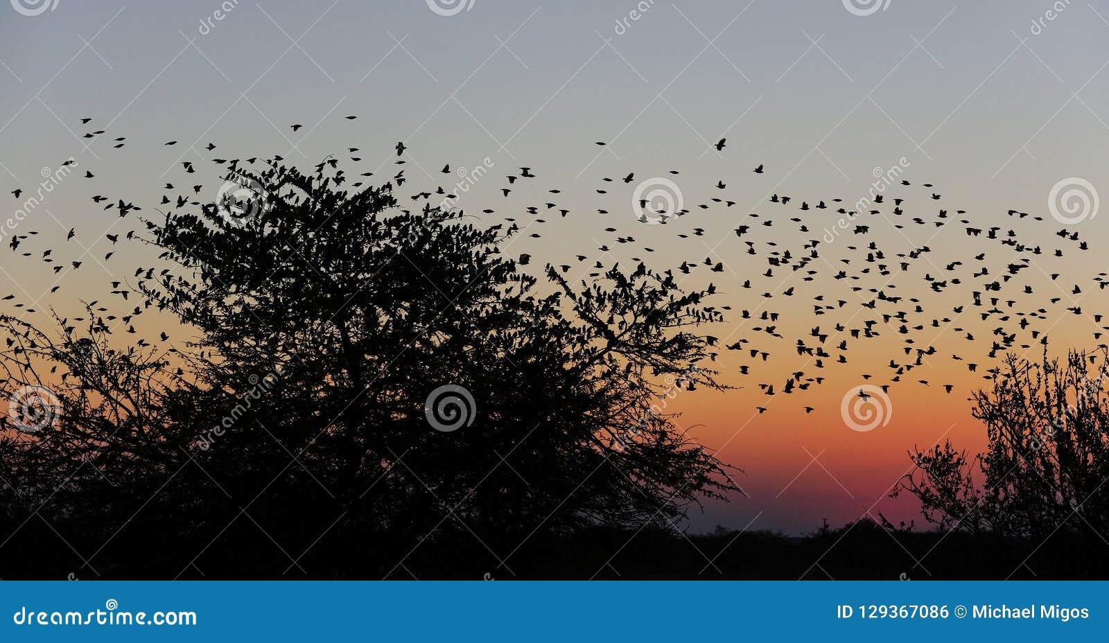 Vuelo del enjambre del quelea de Redbilled en el cielo de la puesta del sol