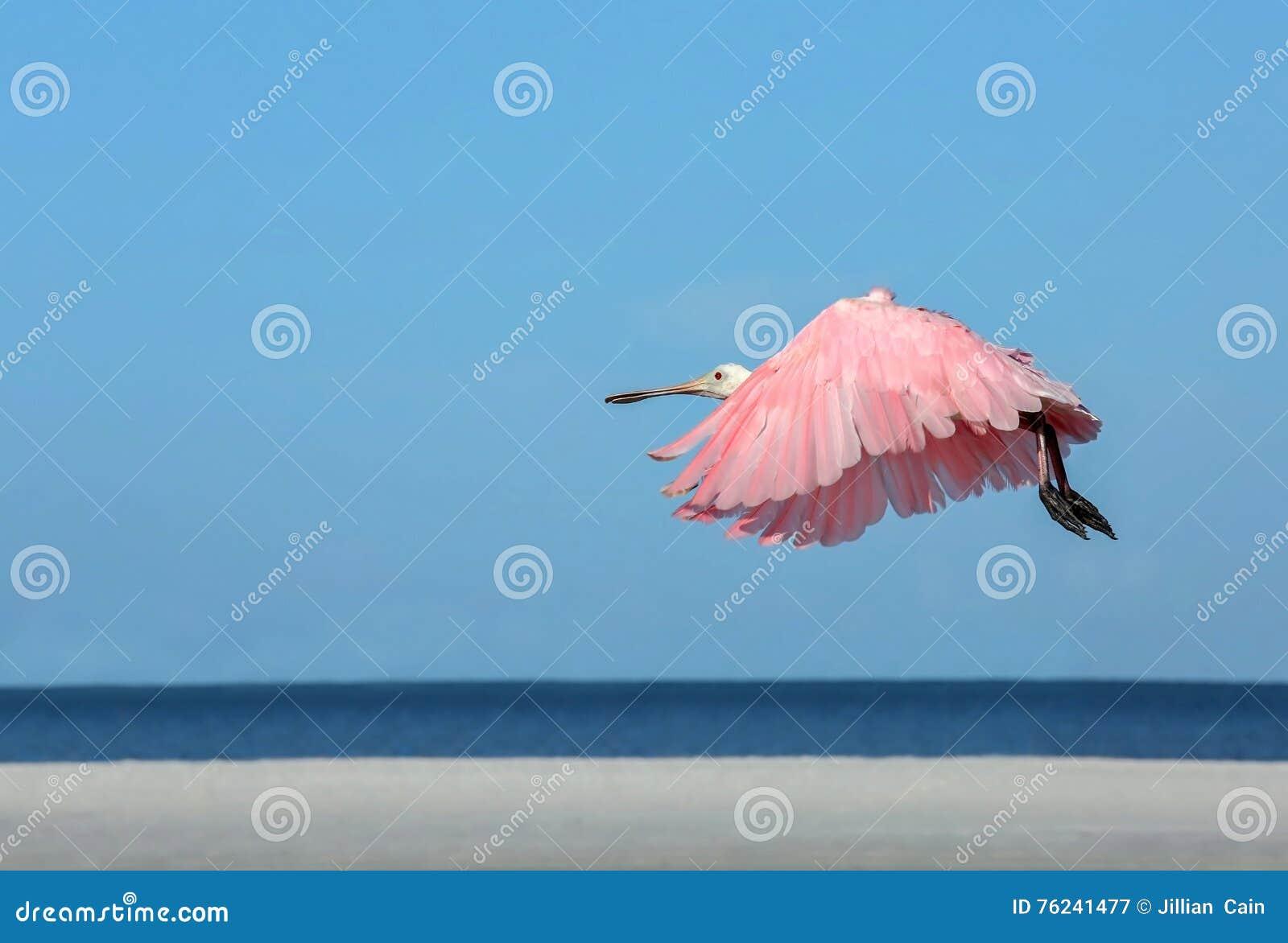 Vuelo del Spoonbill rosado por el Golfo de México