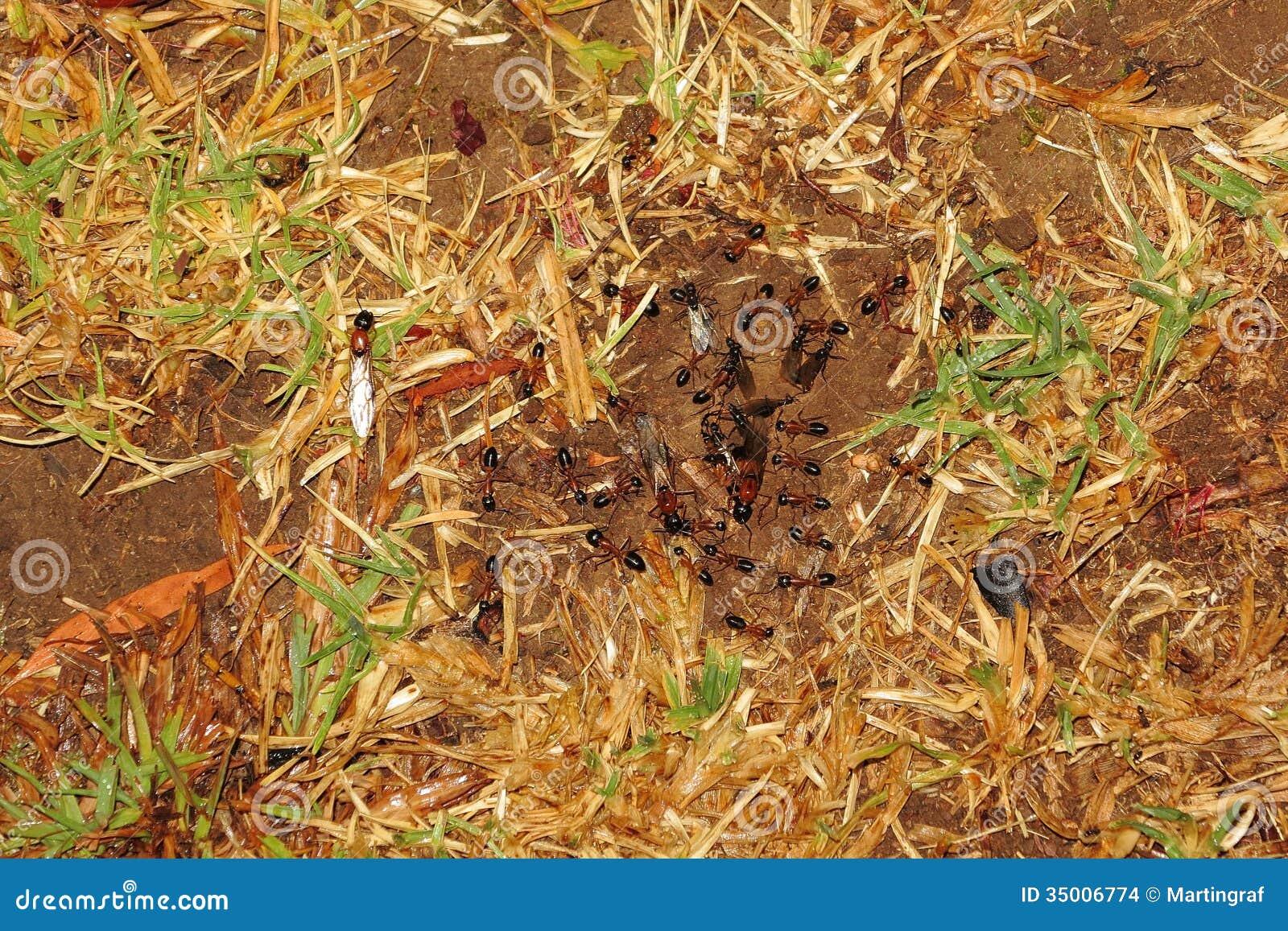Vuelo nupcial de las hormigas