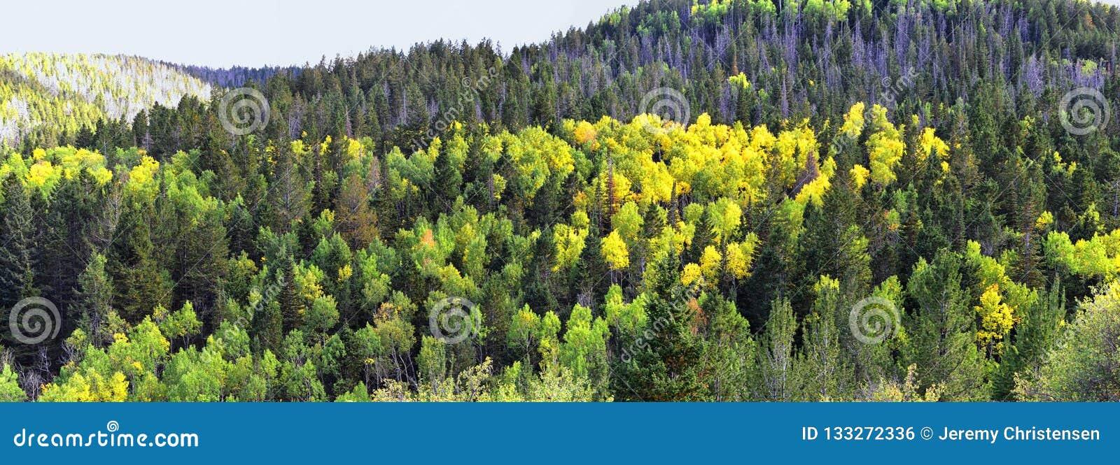 Vues tôt de forêt de panorama d automne de fin d été augmentant par des arbres dans le canyon indien, la boucle de canyon de Neuf