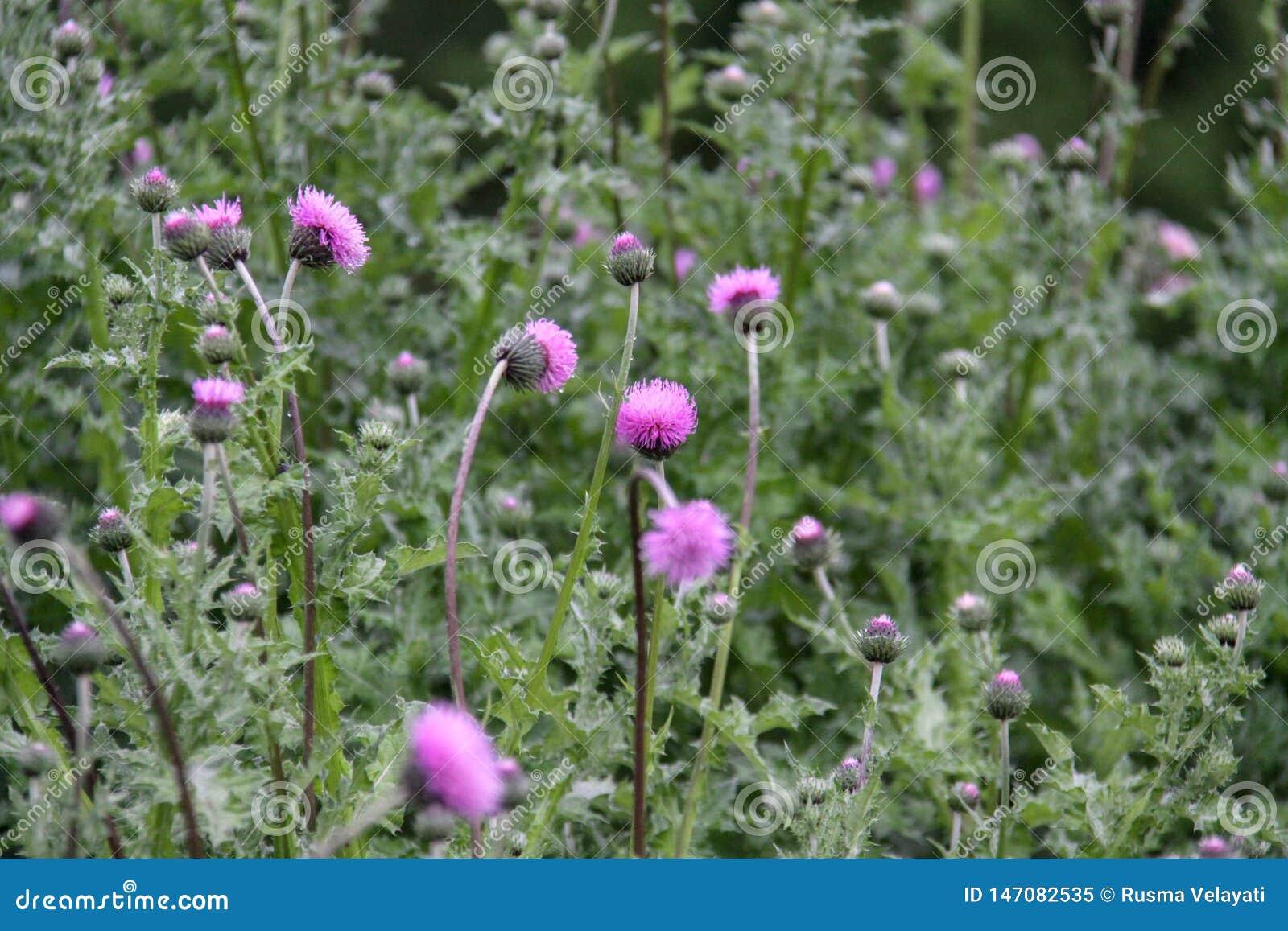 Vulgare de Cirsium, ?galement connu sous le nom de chardon de lance, chardon de taureau, ou chardon commun