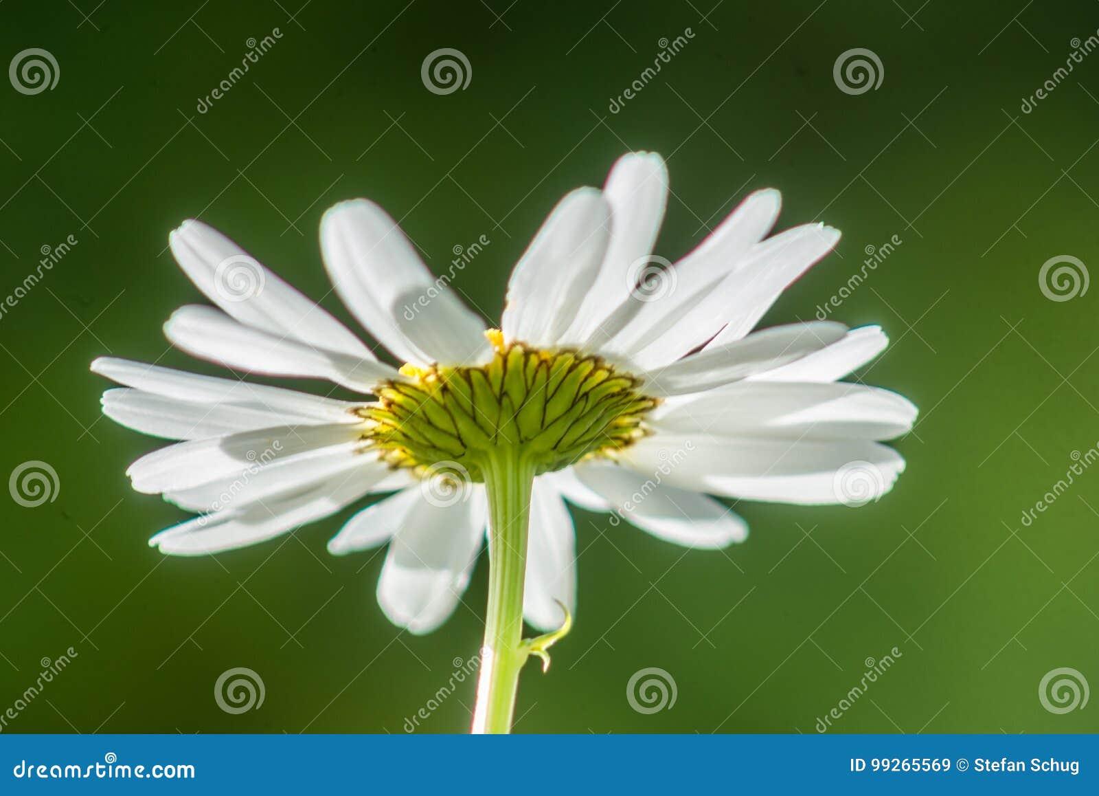 Vulgare di Daisy Backside Leucanthemum