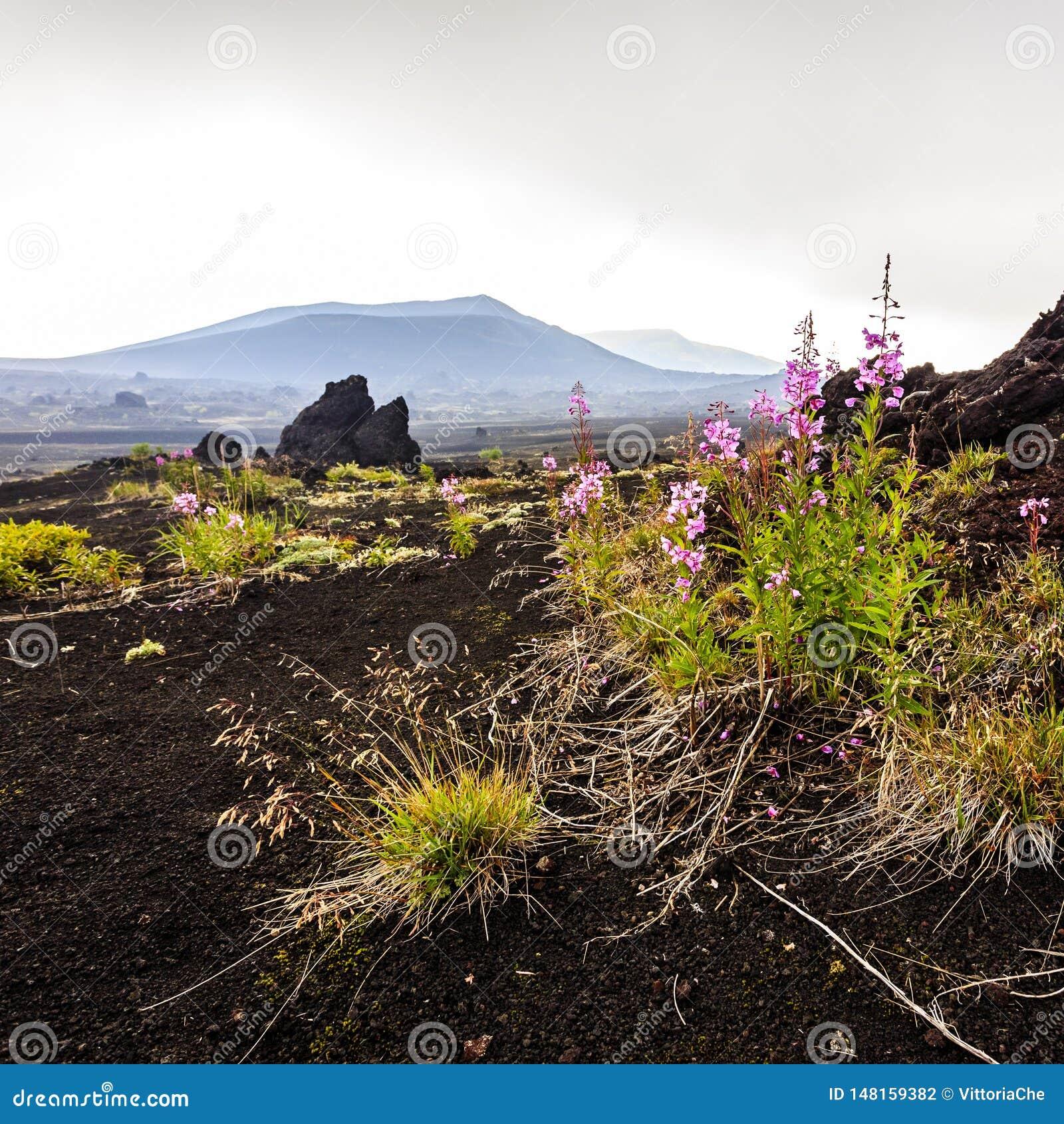Vulkanisch Landschap Roze bloemen die dichtbij Volcano Tolbachik, het Schiereiland van Kamchatka groeien
