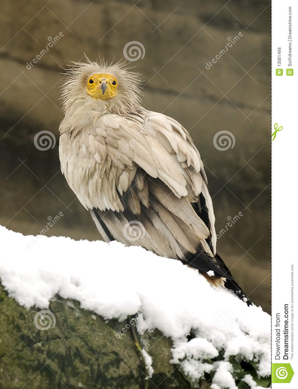 Vulture Baby Royalty Free Stock Image - Image: 13061466