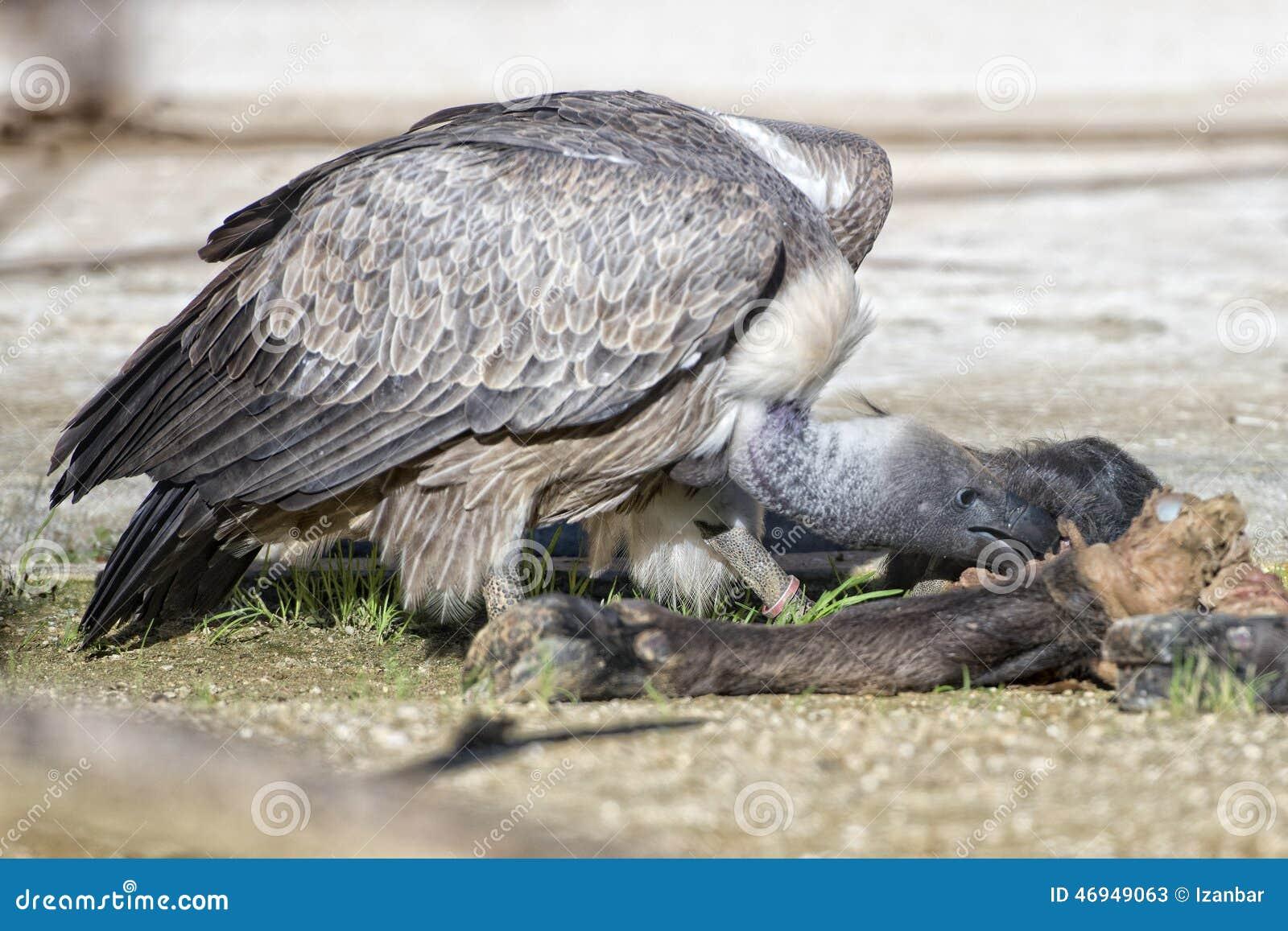 Vulture Buzzard While ...