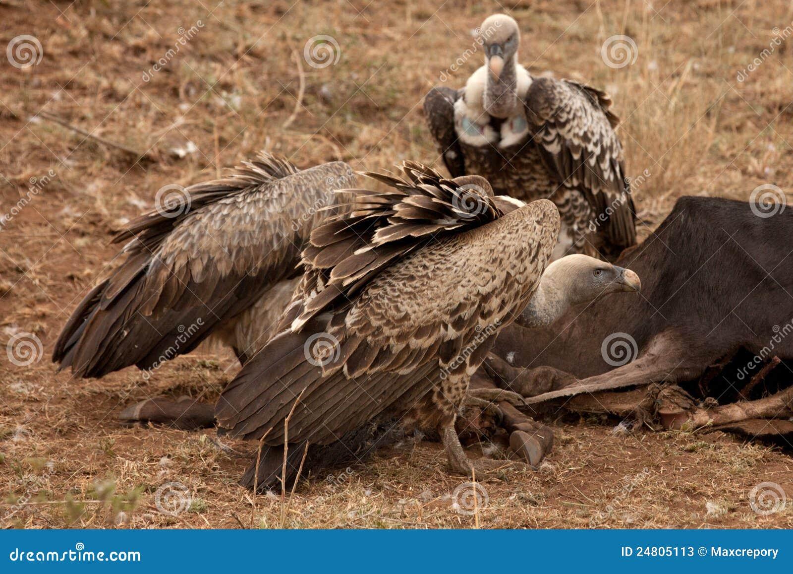 Vultures And Marabou Feedind, Masai Mara, Kenya Royalty ...