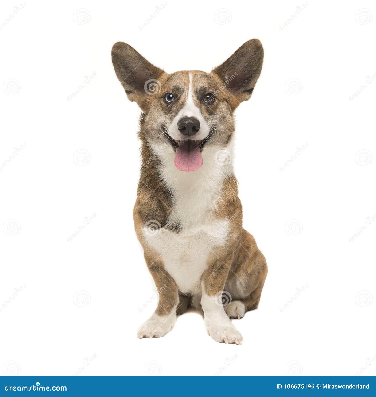 Vuxen hund för walesisk corgipembroke som framifrån ses vända mot caen