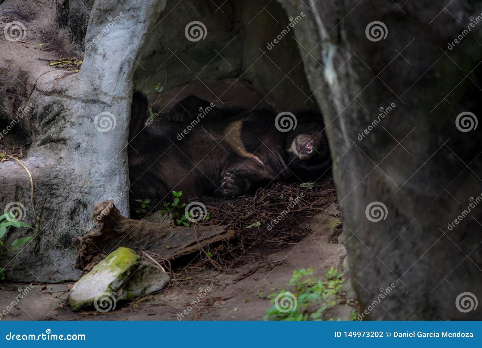 Vuxen människaFormosa en svart björn som sover i grottan