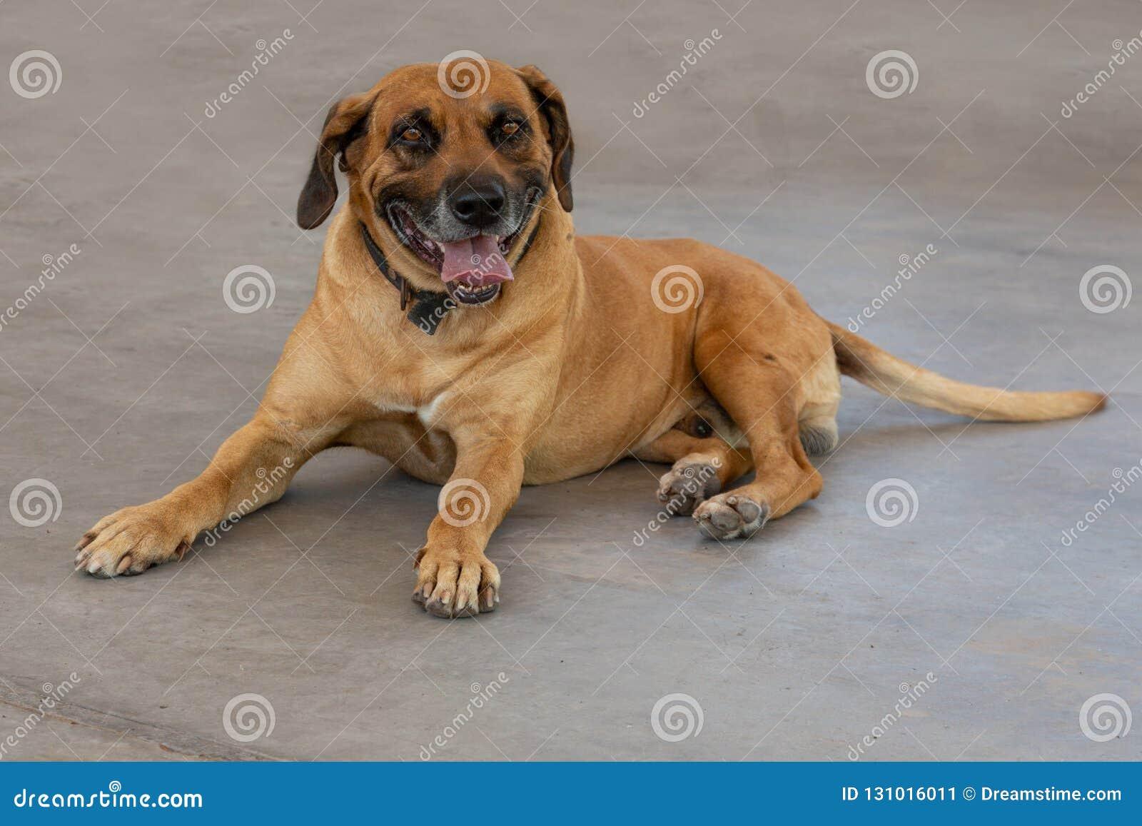 Vuxen människaRhodesian Ridgeback hund som lägger på jordningen