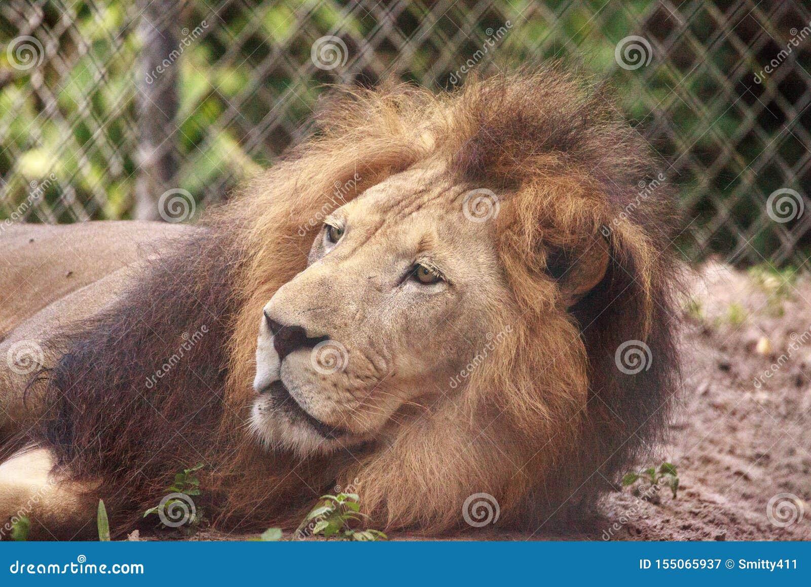 Vuxen manlig afrikansk lejonPanthera leo