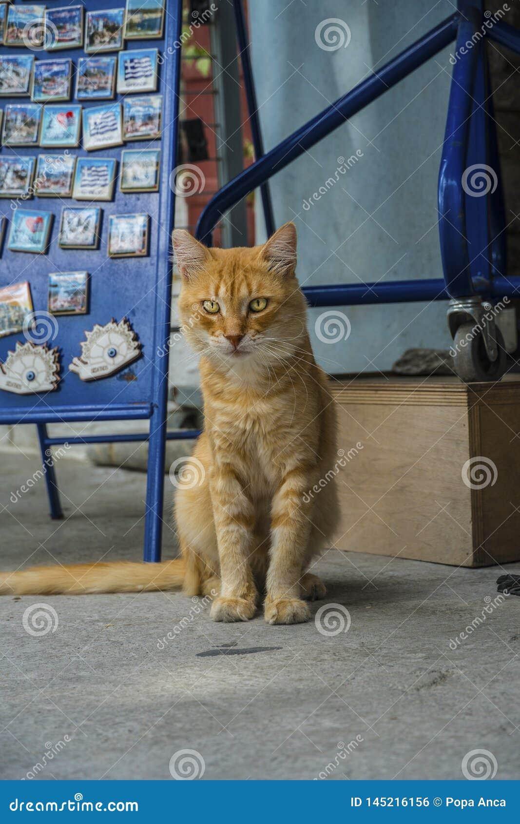 Vuxen tillfällig orange strimmig kattkatt med guld- ögon som ser nyfikna på kameran