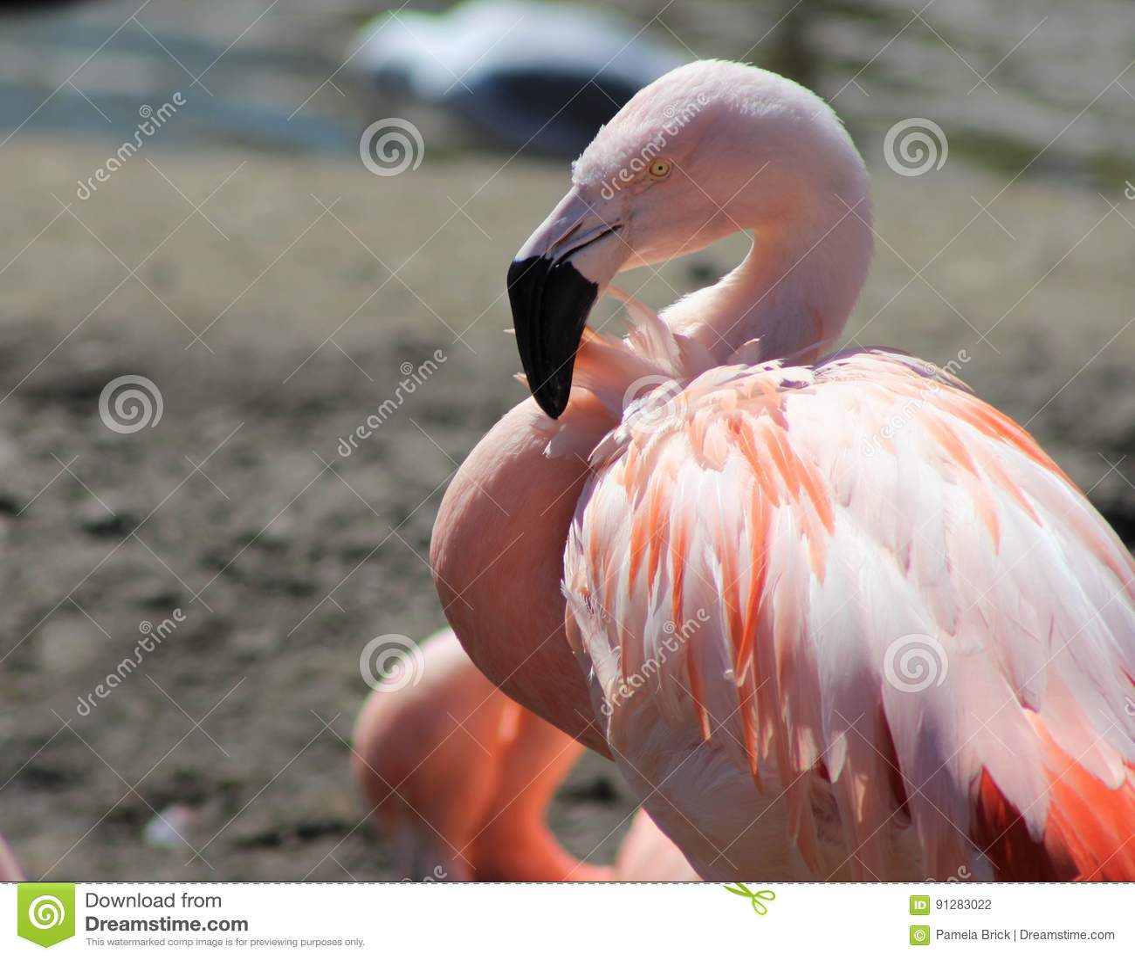 Vuxna högväxta rosa färg- och vitflamingoställningar