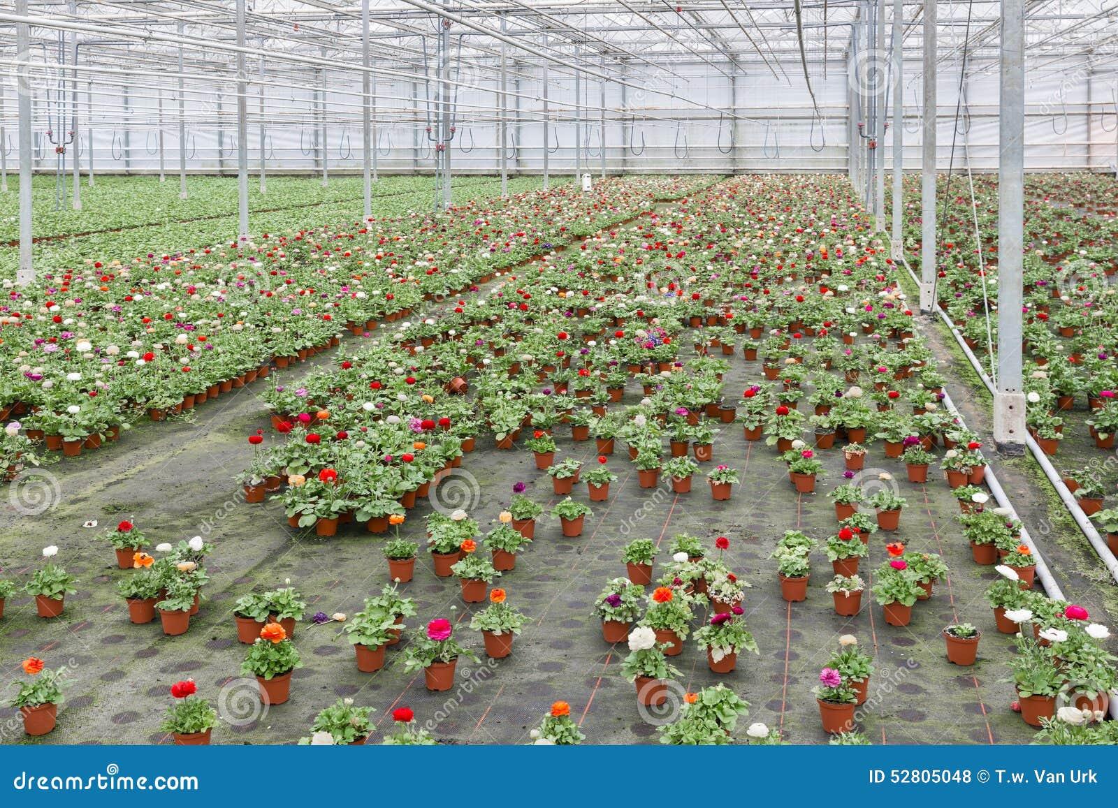 Växthus Odla : Växthus med odling av färgrika blommasmörblommor arkivfoto bild
