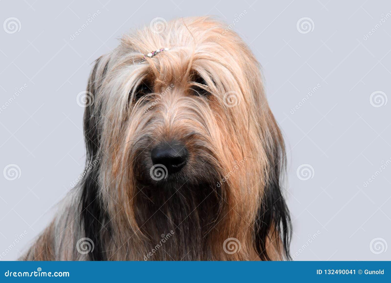 Wäller, uma raça nova dos cães