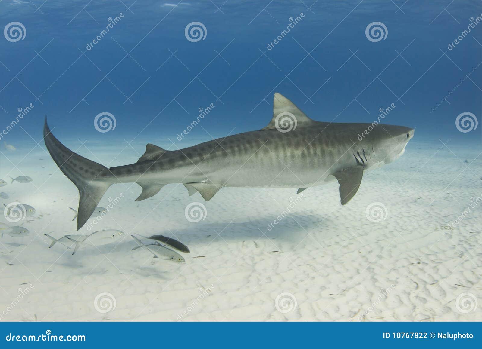 Würdevoller Tiger-Haifisch
