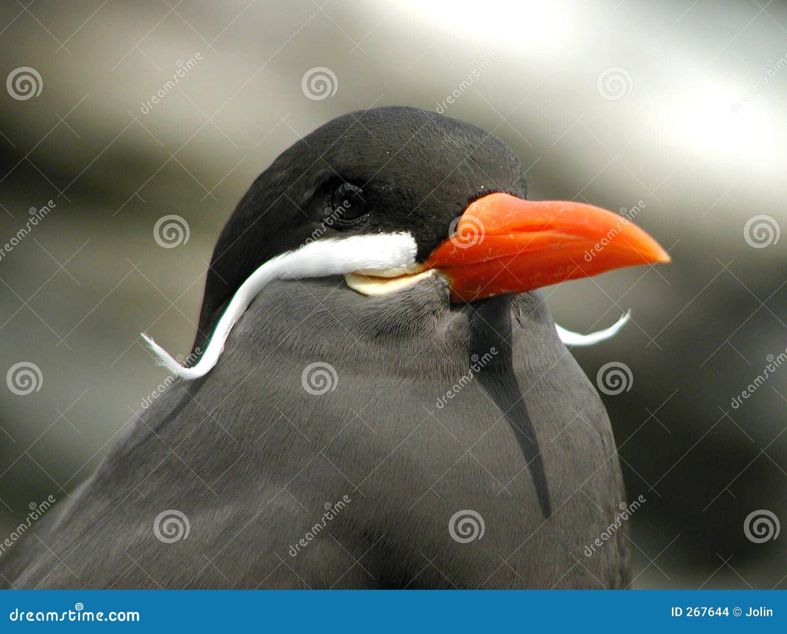 Wąsaty ptaka.