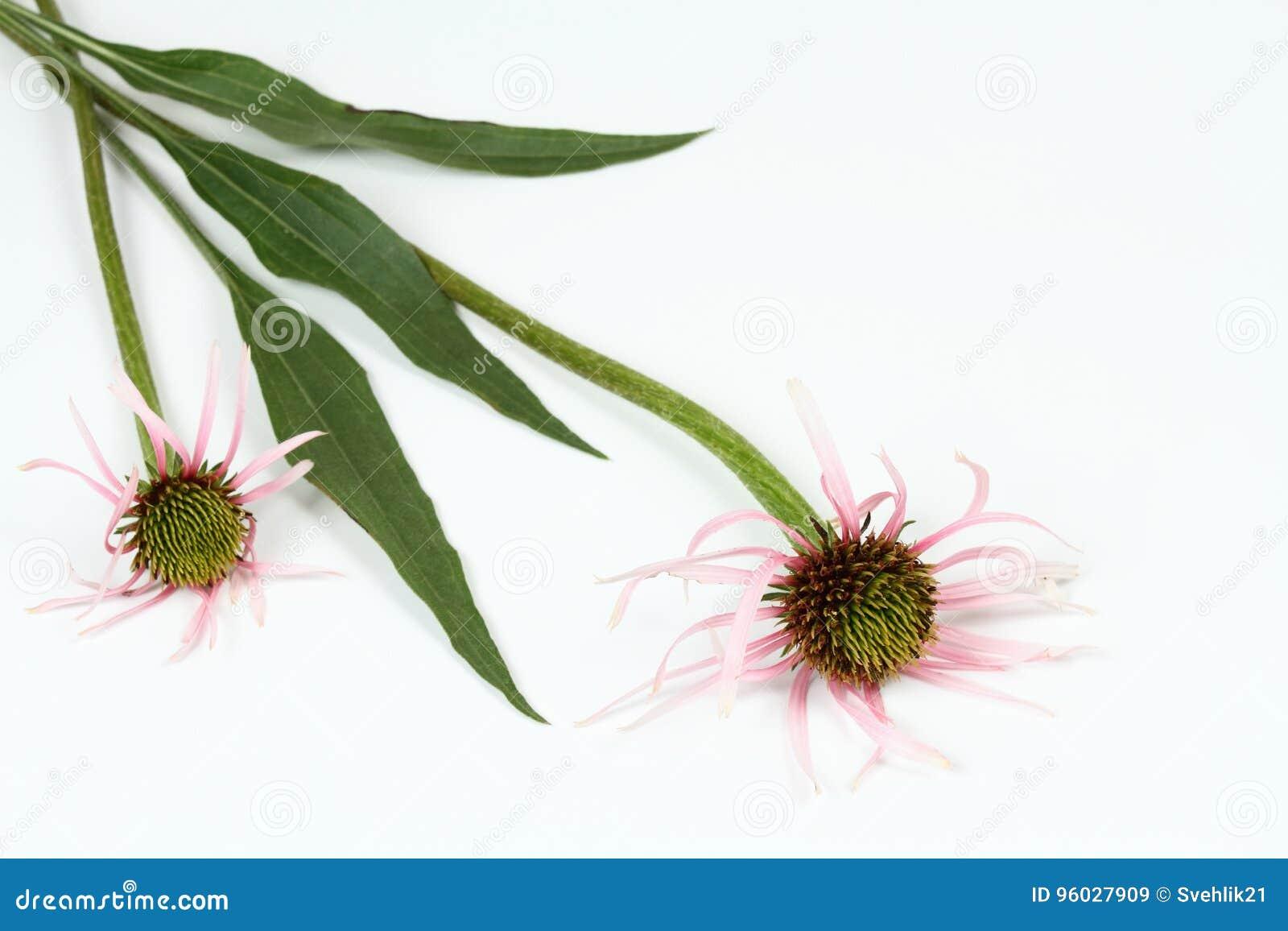 Wąski liścia rożka kwiat, Echinacea angustifolia na białym tle,