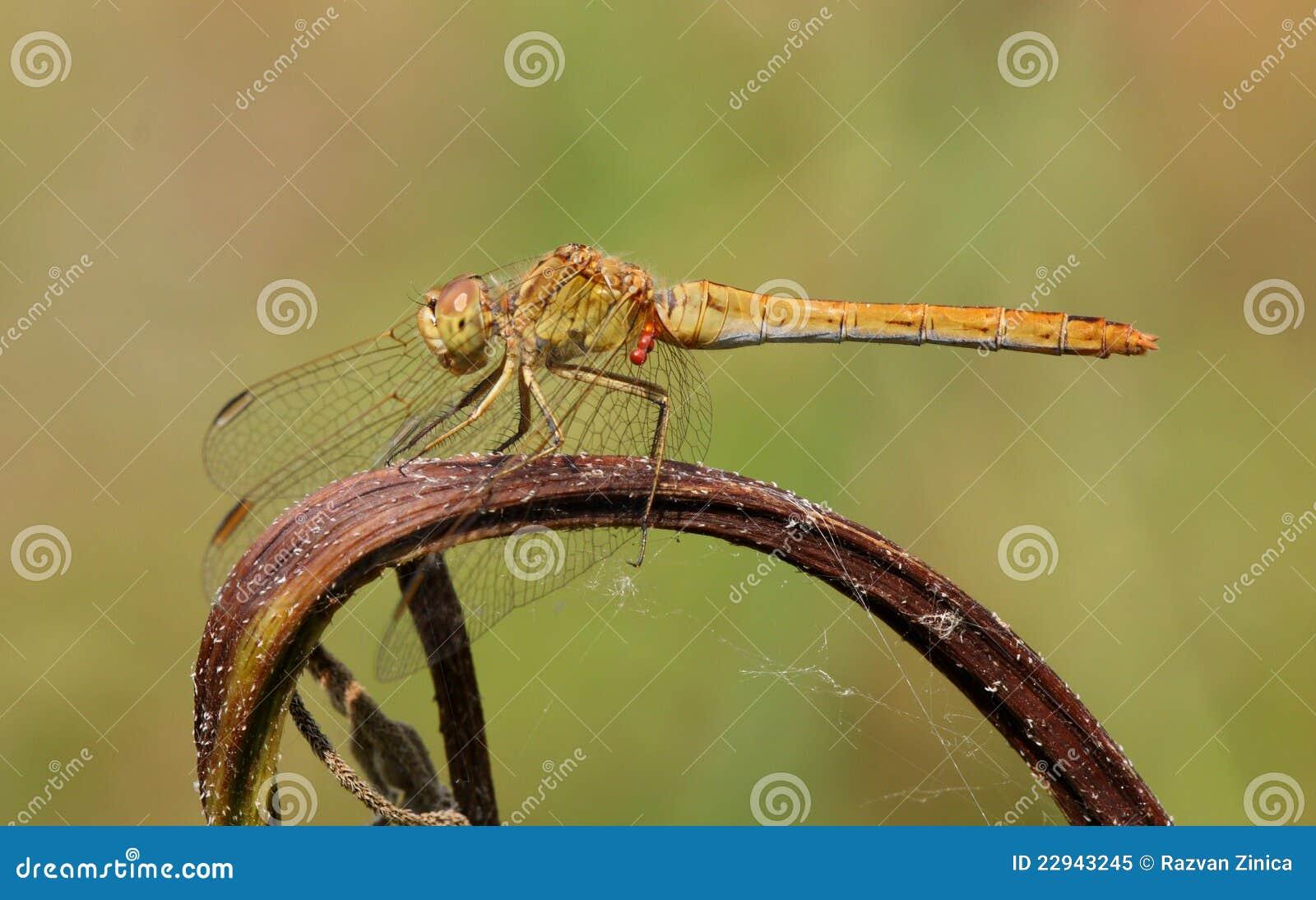 Wężowego meridionale południowy sympetrum