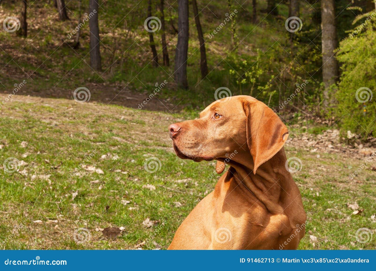 Węgierski pointer Vizsla, obwąchuje na polowaniu Jest prześladowanym lojalnego przyjaciela myśliwy Szczegół psia głowa