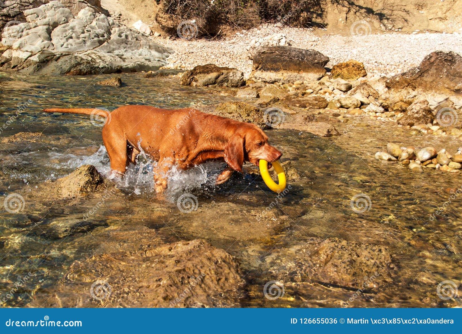 Węgierski pointer Vizsla pływa w morzu Pies sztuki w wodzie Psi szkolenie Letni dzień z psem morzem