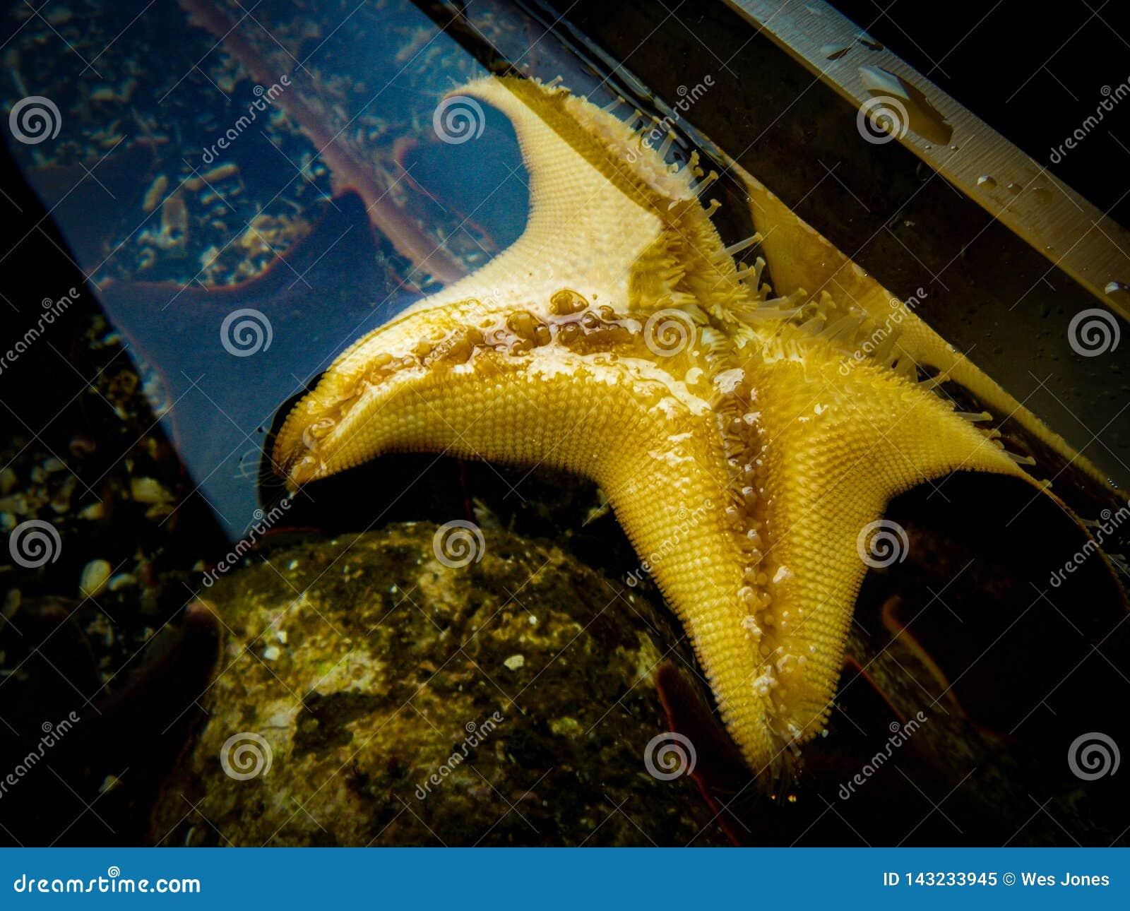 Właśnie prosta rozgwiazda w akwarium