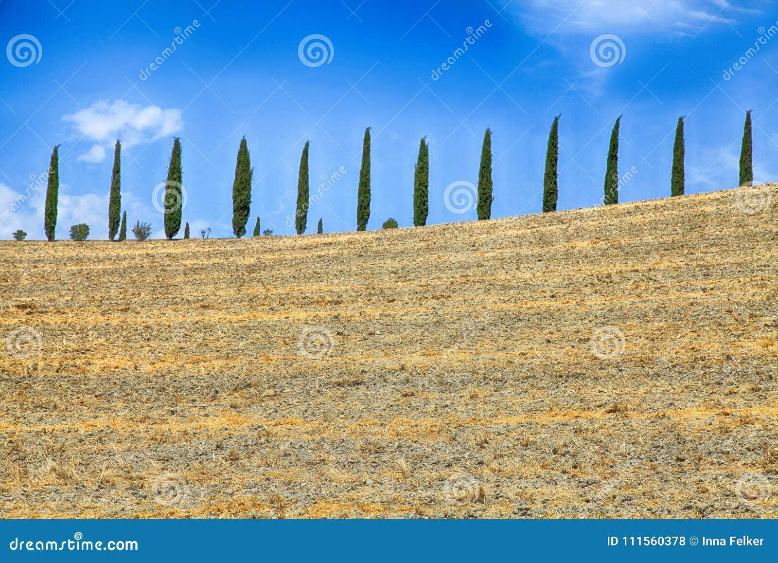 Włoscy cyprysowi drzewa i koloru żółtego śródpolny wiejski krajobraz wiosłują, Tus