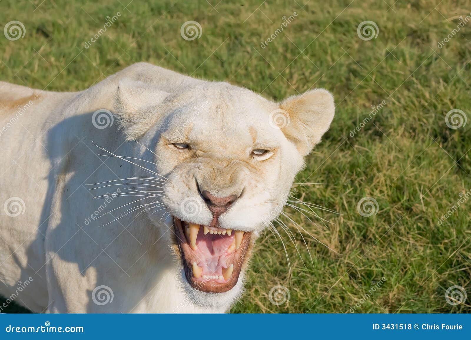 Wściekła lwica