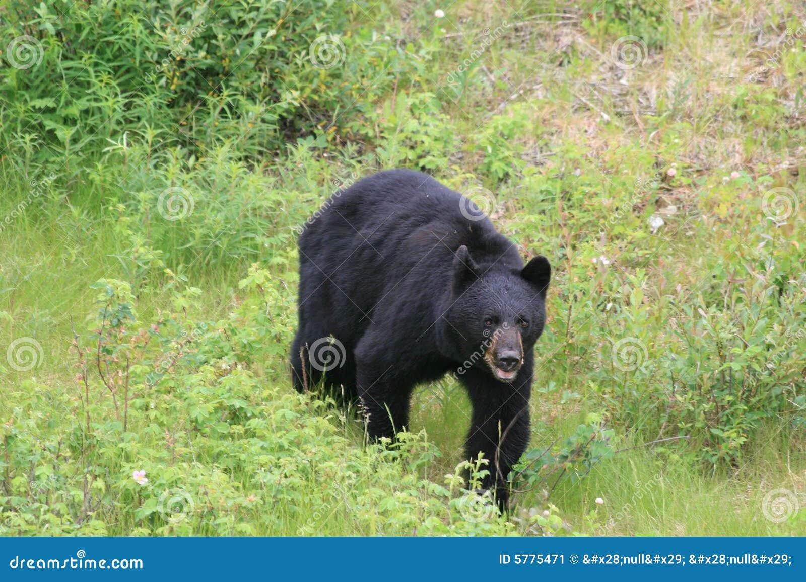 Wściekły niedźwiedź black
