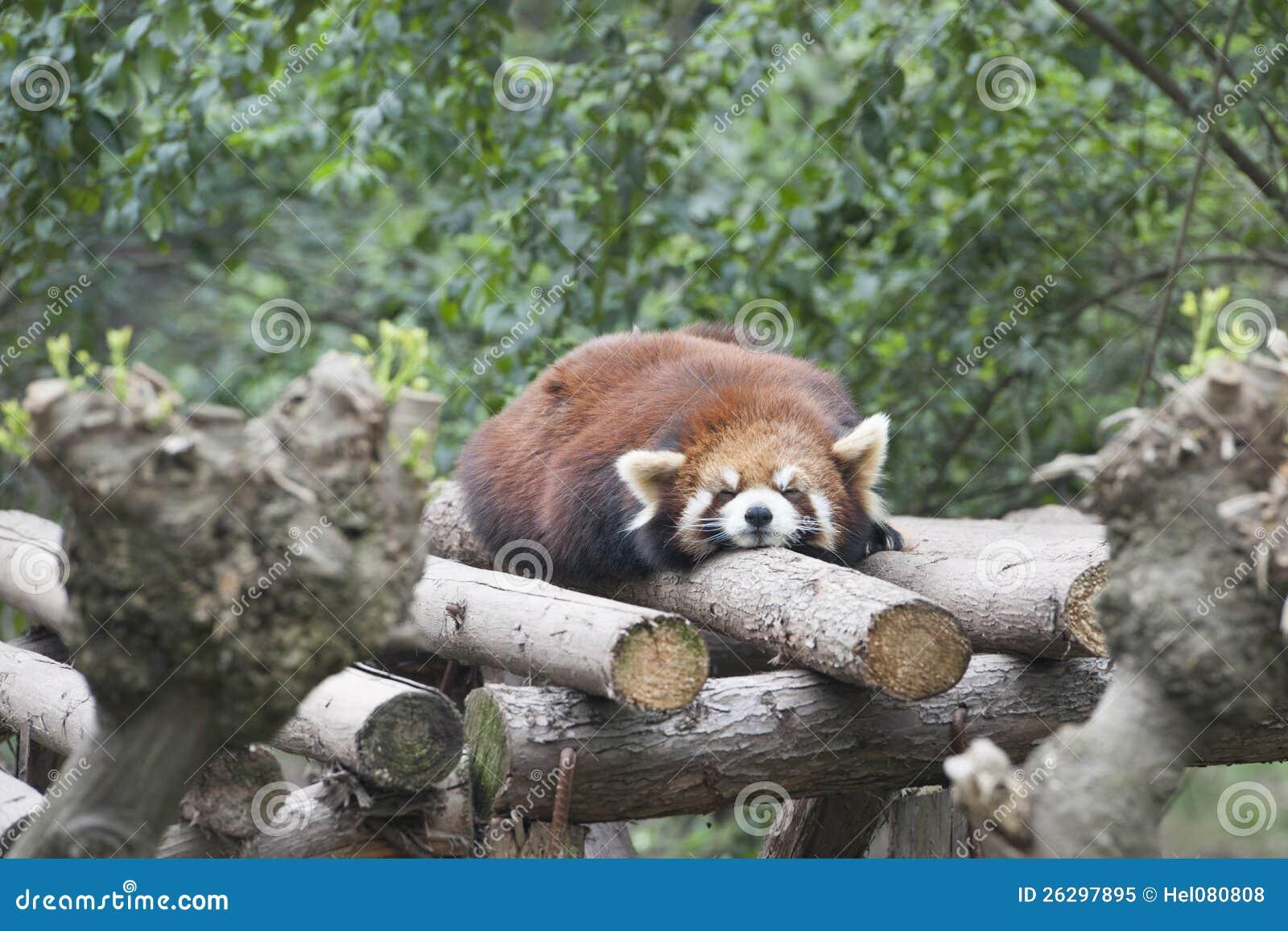 W Chengdu sypialna czerwona panda, Chiny