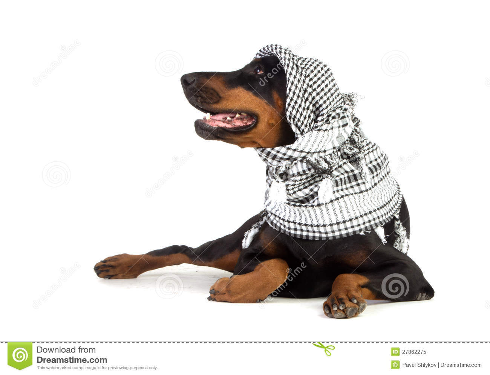 W czarny kufiya Dobermann pies