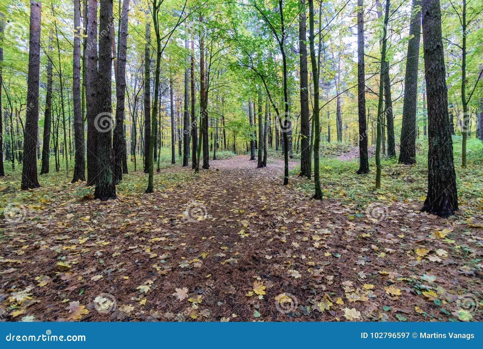 W drewnach mglisty ranek las z drzewnymi bagażnikami