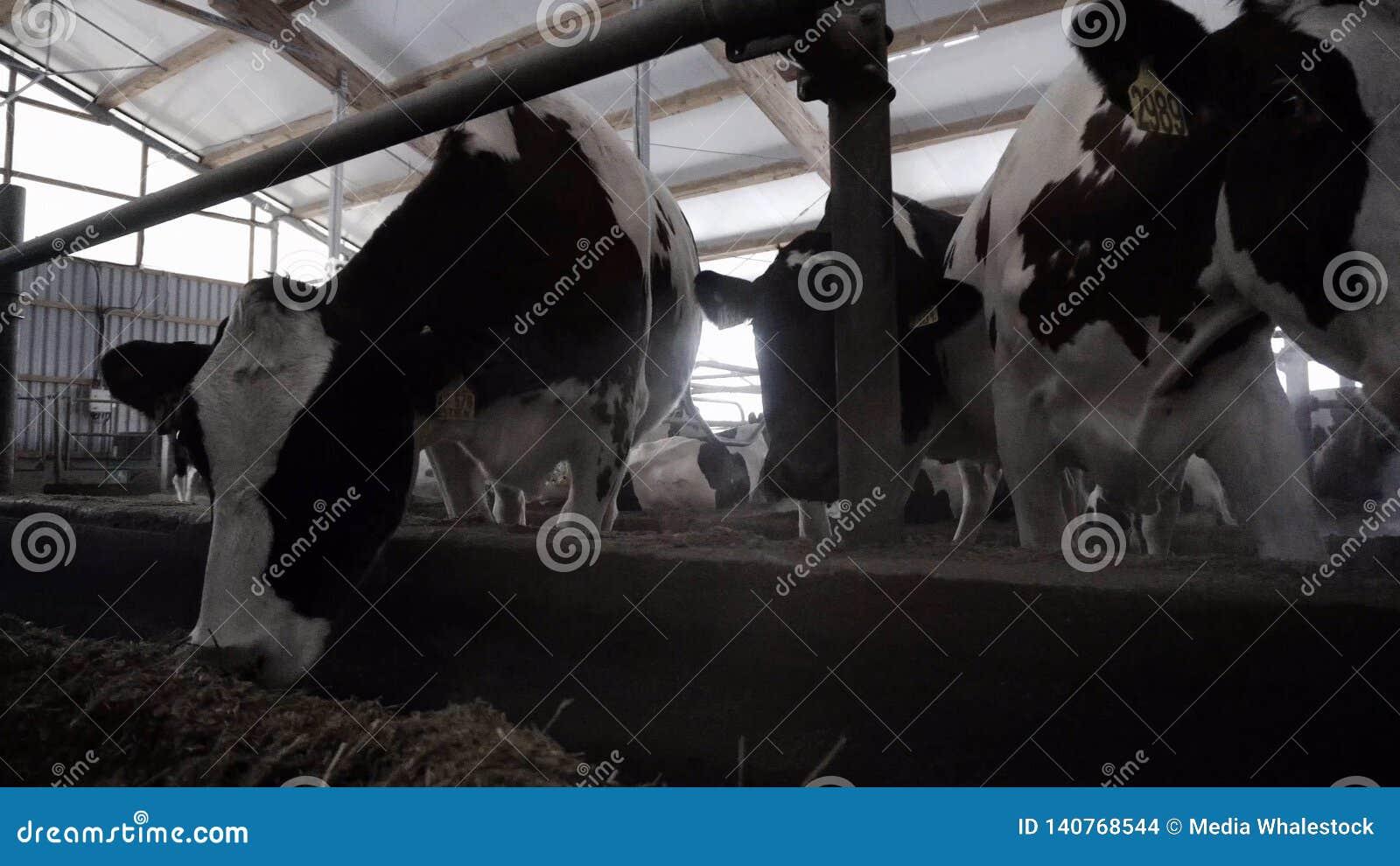 W górę żywieniowych nabiał krów footage Krowy jedzą siano na nowożytnym nabiału gospodarstwie rolnym Nabiał krowy jedzą odżywki s