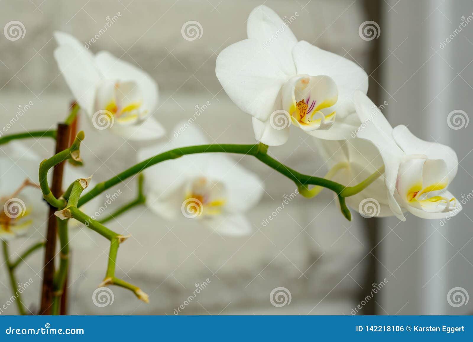 W górę białej orchidei