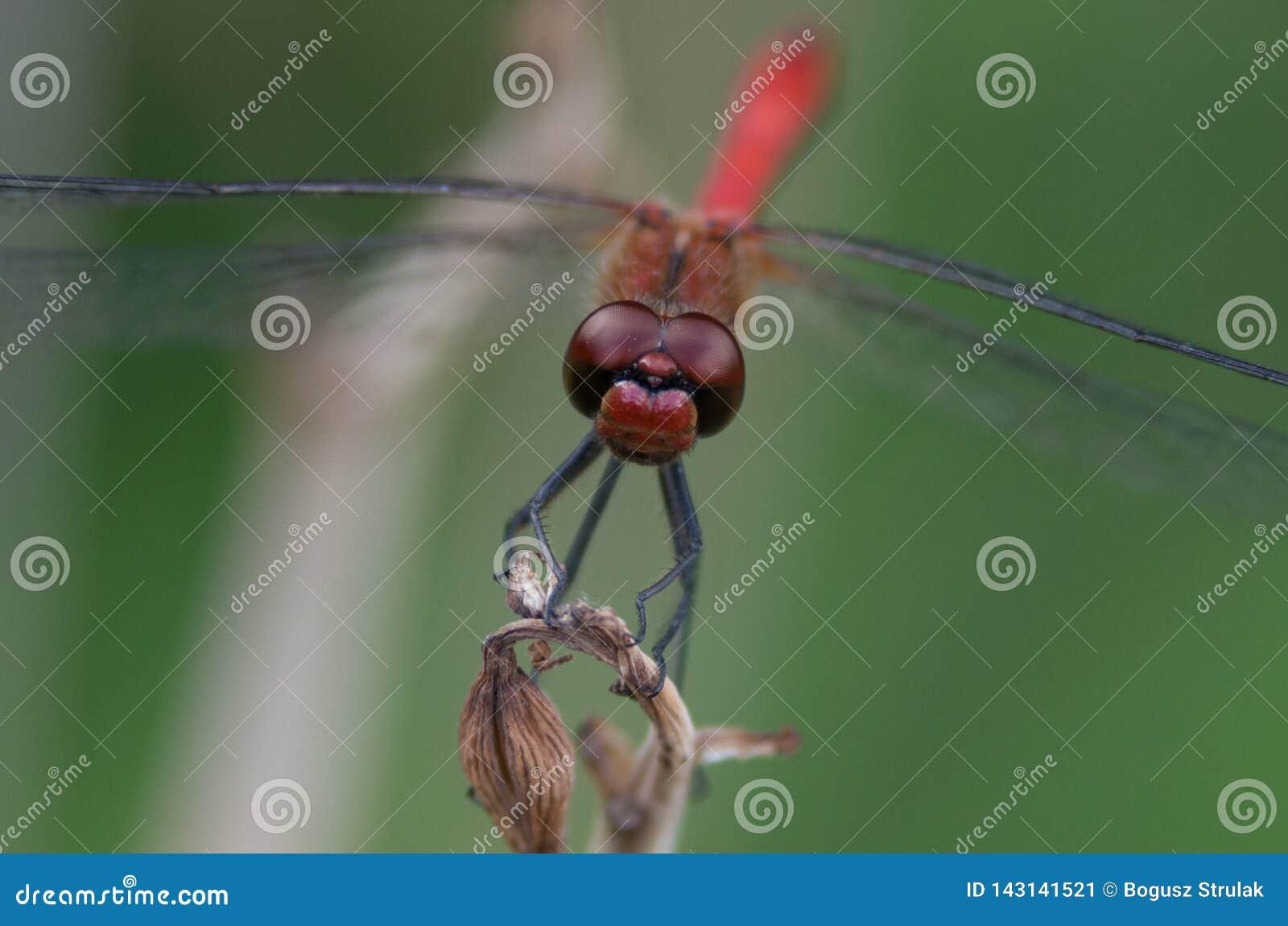 W górę czerwonego dragonfly na roślinie na