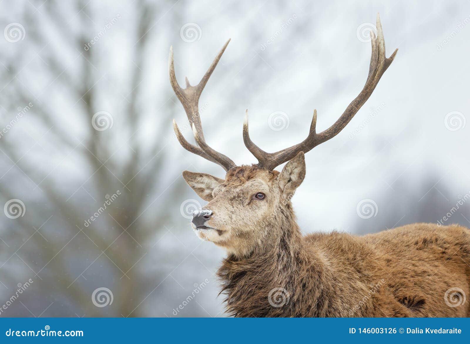 W górę czerwonych rogaczy jelenia w spada śniegu