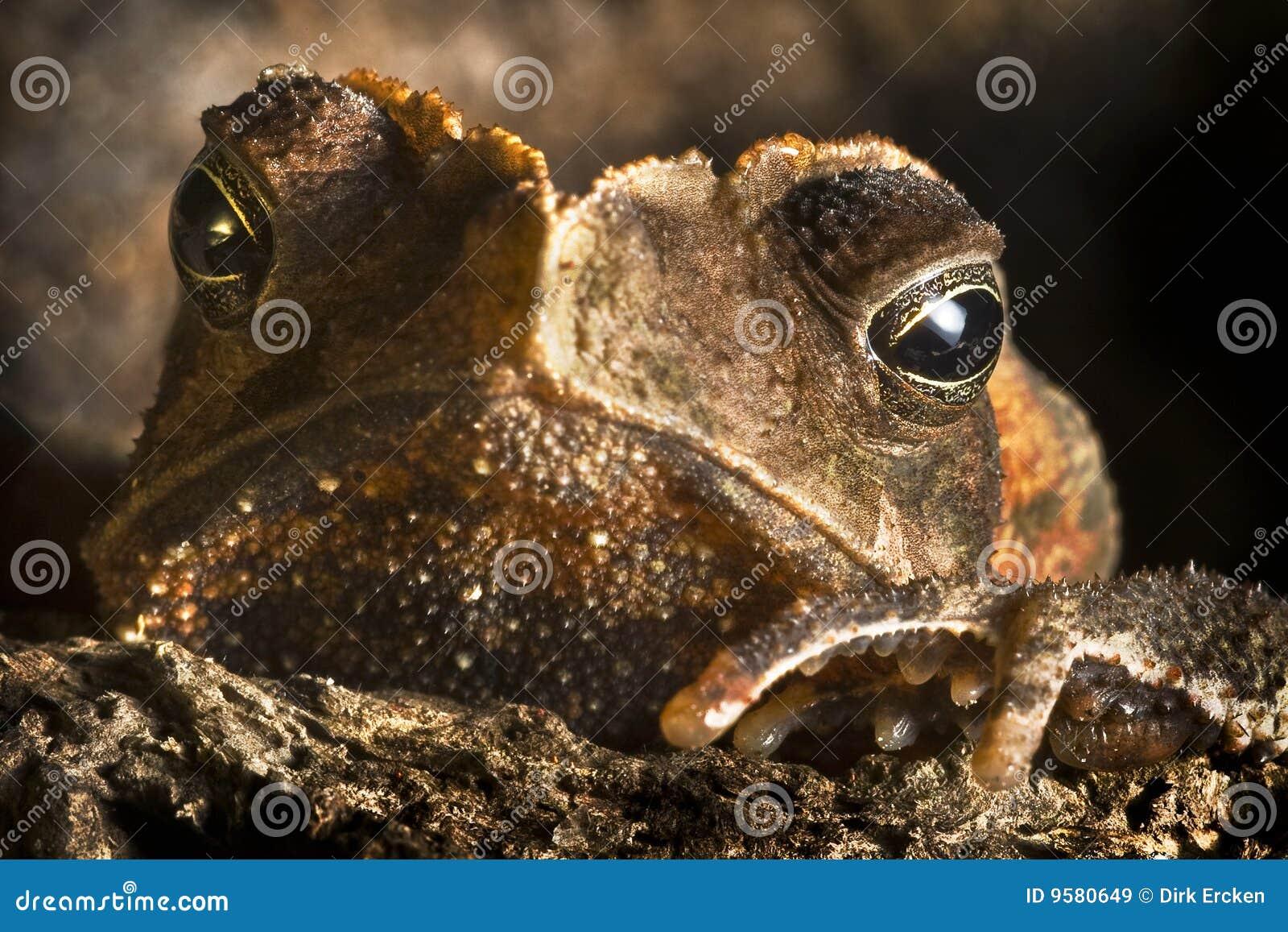 W górę dzikiego oko zwierzęcy duży zamknięty czubaty kumak