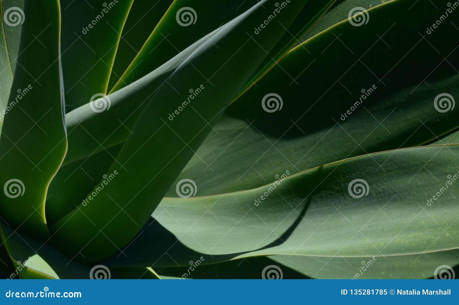 W górę fotografii agawy roślina, abstrakcjonistycznych ilości wizerunek z łączyć liniami i cieni,