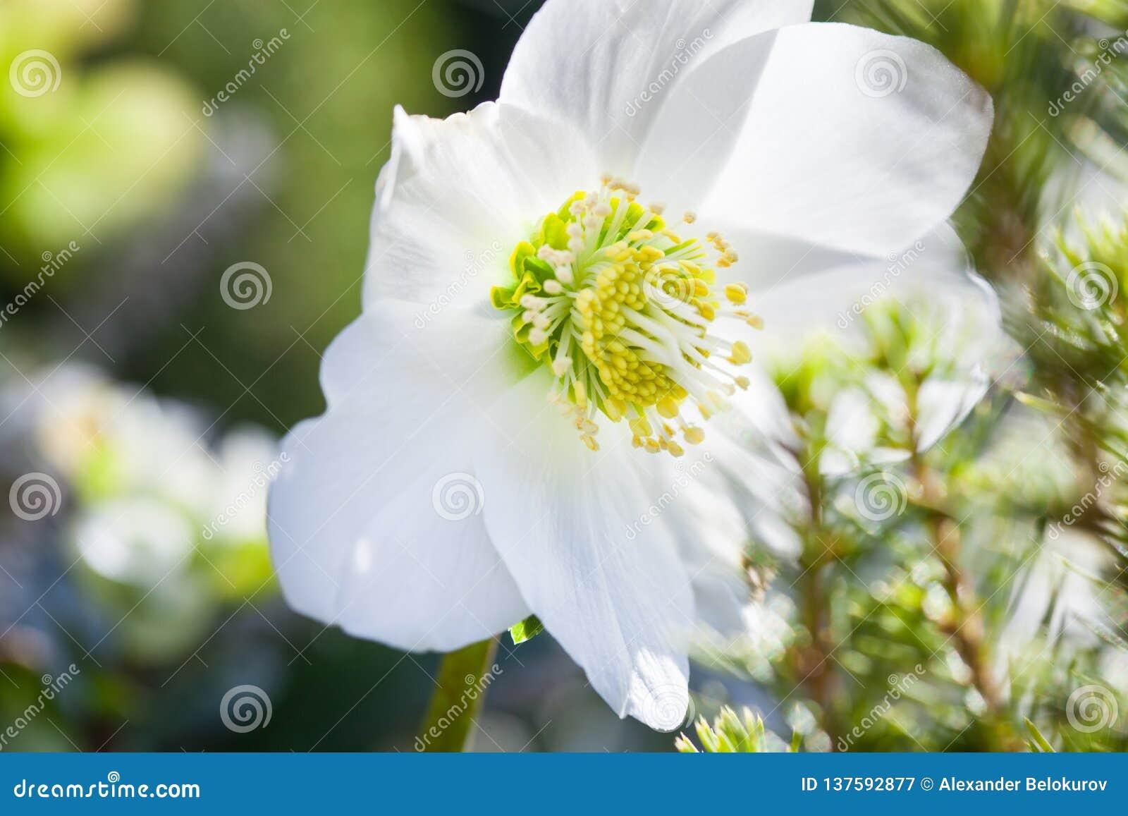 W górę fotografii pięknego bożego narodzenia różanego Helleborus Niger biały kwiat w wintergarden