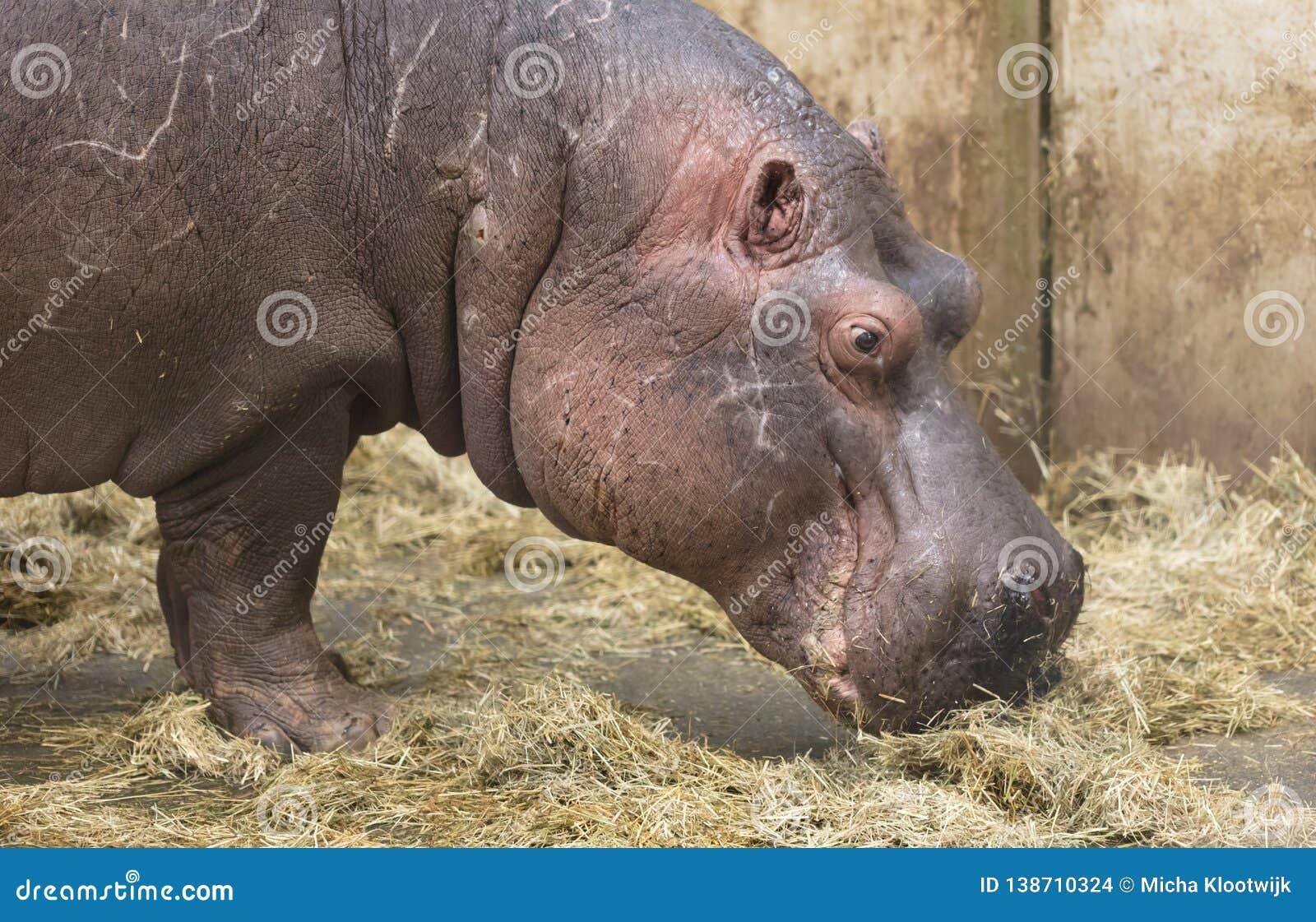 W górę hipopotama