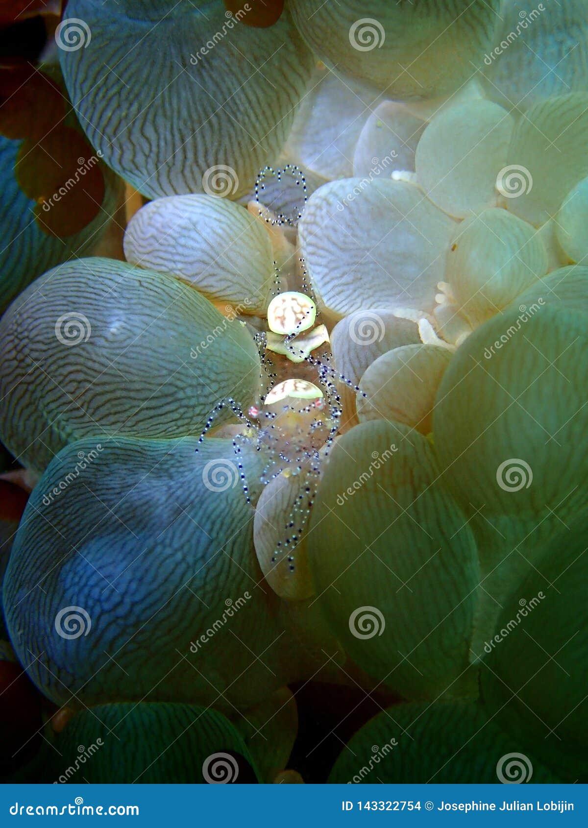 W górę i makro- strzał bąbel koralowa garnela piękno podwodny światowy pikowanie w Sabah, Borneo