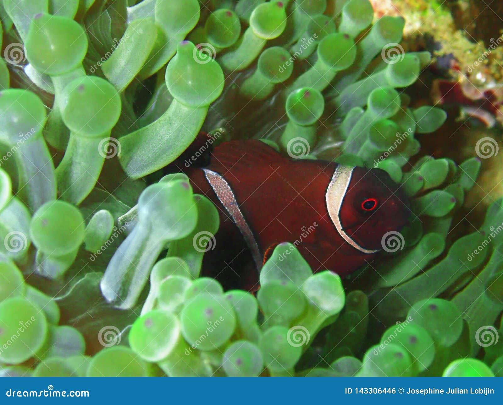W górę i makro- strzału anemonowa ryba piękno podwodny światowy pikowanie w Sabah, Borneo