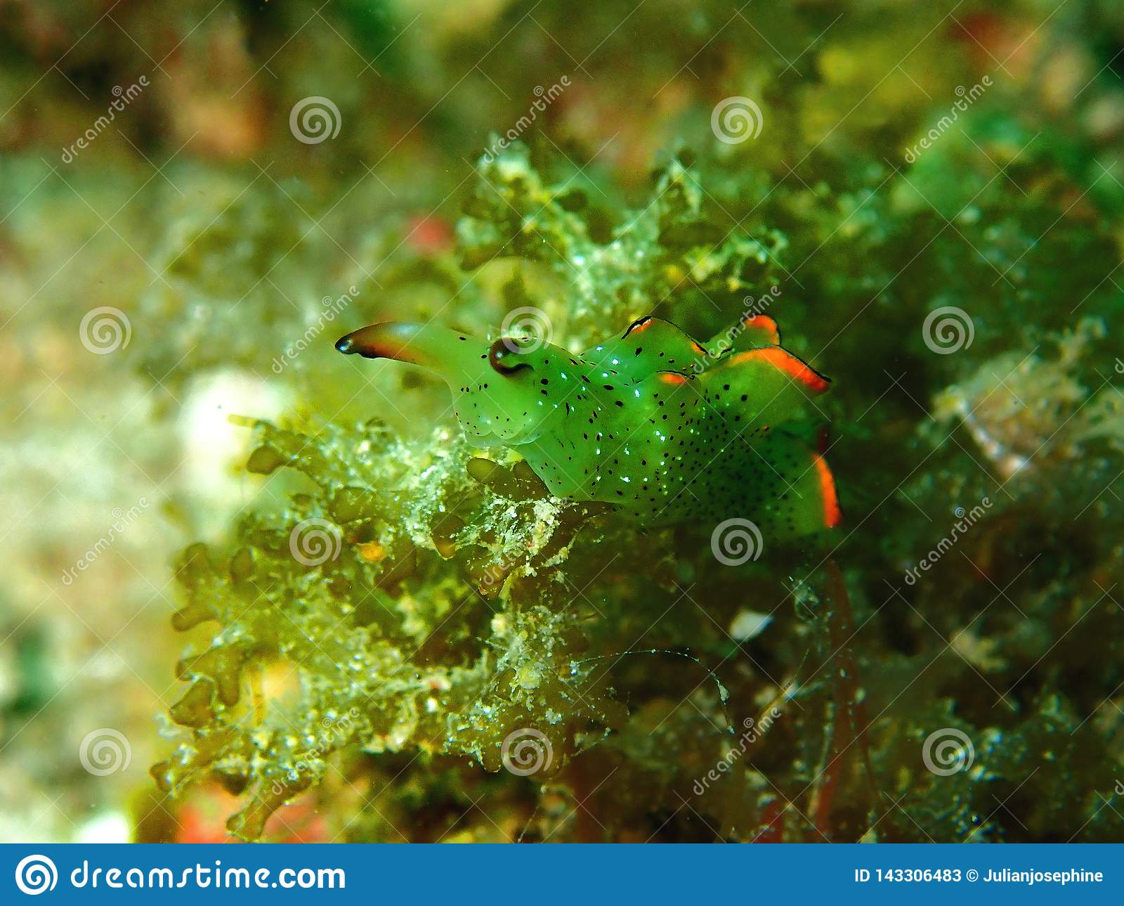 W górę i makro- strzału nudibranch piękno podwodny światowy pikowanie w Sabah, Borneo