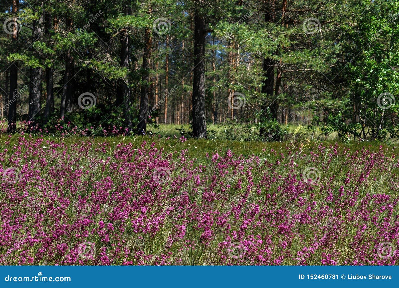 W górę leczniczej rośliny silene yunnanensis dzwoniący mistrz z małymi pięknymi purpurami kwitnie