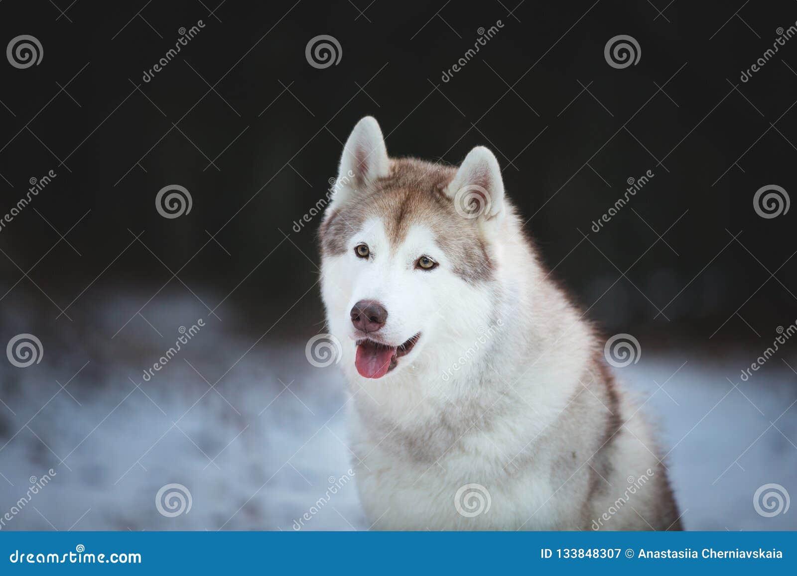 W górę portreta szczęśliwy i bezpłatny Syberyjski husky jest prześladowanym obsiadanie na śnieżnej ścieżce w ciemnym lesie w zimi